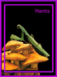 carta mantis